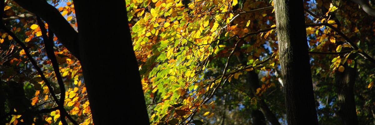 Little Gaddesden autumn leaves